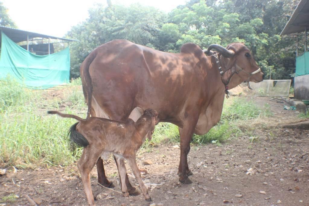 gir-cow2-captains-farm.jpg
